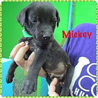 Adopt A Pet :: Mikey - Oxford, CT