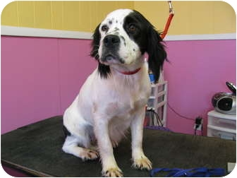 Spaniel (Unknown Type) Mix Dog for adoption in Bedminster, New Jersey - Shasta