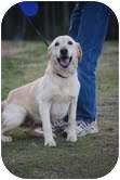 Golden Retriever/Labrador Retriever Mix Dog for adoption in Coventry, Rhode Island - Marley
