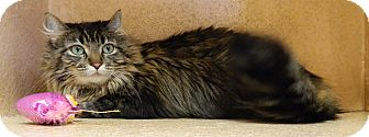 Domestic Longhair Cat for adoption in Columbus, Nebraska - Tabitha