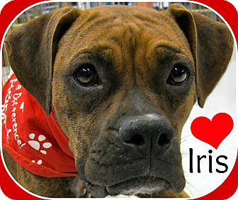 Boxer Mix Dog for adoption in South Plainfield, New Jersey - Iris
