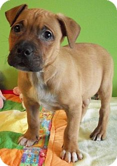 Shelton | Adopted Puppy | Struthers, OH | Boxer/Pit Bull ...