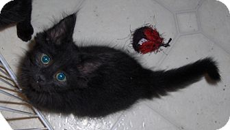 Domestic Shorthair Kitten for adoption in Richmond, Virginia - Charmed