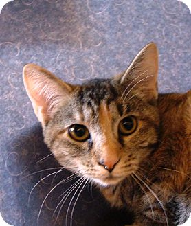 Domestic Shorthair Cat for adoption in Albany, New York - Daisy