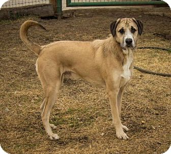 Irish Wolfhound Mix Dog for adoption in Flower Mound, Texas - Linus
