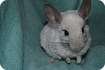 Chinchilla for adoption in Patchogue, New York - Bambie