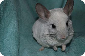 Chinchilla for adoption in Lindenhurst, New York - Bambie