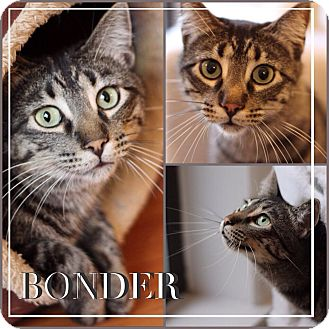 Domestic Mediumhair Cat for adoption in Chicago, Illinois - Bonder