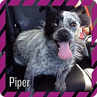 Adopt A Pet :: PIPER - Mission Viejo, CA