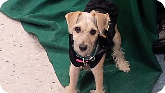 Yorkie, Yorkshire Terrier/Jack Russell Terrier Mix Puppy for adoption in Chicago, Illinois - Marion