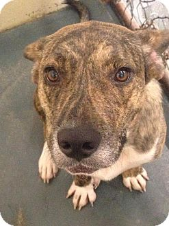 Pit Bull Terrier Mix Dog for adoption in Fort Smith, Arkansas - Macey