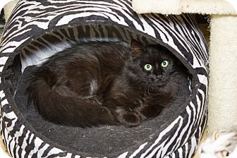 Domestic Shorthair Cat for adoption in Chicago, Illinois - Furball