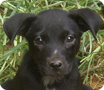 Labrador Retriever Mix Puppy for adoption in Allentown, Pennsylvania - Cassie