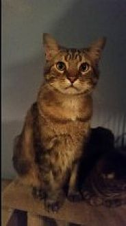 Domestic Shorthair Cat for adoption in Livonia, Michigan - Tom Hanks and Angelo