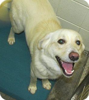 Labrador Retriever Mix Dog for adoption in Aiken, South Carolina - LAKER