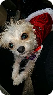 Maltese/Yorkie, Yorkshire Terrier Mix Dog for adoption in Covina, California - KoKo