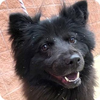 Chow Chow Mix Dog for adoption in Parma, Ohio - Jack