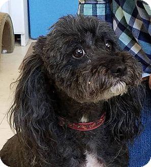 Poodle (Miniature)/Maltese Mix Dog for adoption in Idyllwild, California - Pirate