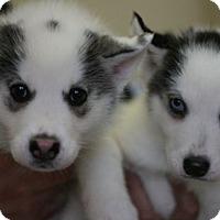 Adopt A Pet :: Mishka's Puppies! - Canoga Park, CA