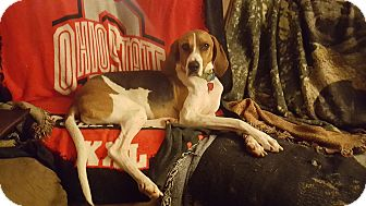 Treeing Walker Coonhound/Hound (Unknown Type) Mix Dog for adoption in Avon, Ohio - Petunia