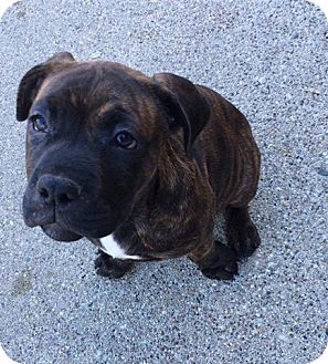 American Bulldog/American Pit Bull Terrier Mix Puppy for adoption in Eastpointe, Michigan - Mimosa