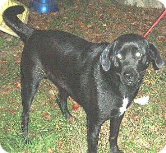 Labrador Retriever Dog for adoption in Cantonment, Florida - Oreo