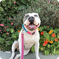 Adopt A Pet :: Amelia - Los Angeles, CA