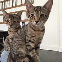 American Shorthair Kitten for adoption in New York, New York - Eeny