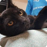 Adopt A Pet :: Raven - Reston, VA