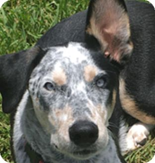 Australian Cattle Dog Dog for adoption in The Woodlands, Texas - Bandit