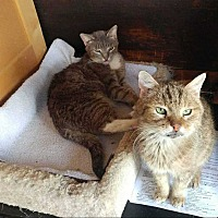 Adopt A Pet :: sabrina - Harleysville, PA