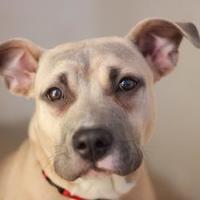 Adopt A Pet :: LADY - Kyle, TX