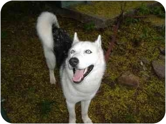 Siberian Husky Dog for adoption in Boyertown, Pennsylvania - Juno