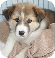 Border Collie Puppy for adoption in Glenrock, Wyoming - Dutch