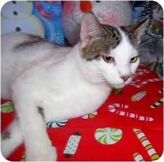 Turkish Van Cat for adoption in Taylor Mill, Kentucky - Samson