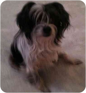 Chinese Crested Dog for adoption in Cocoa, Florida - Yen Tsut