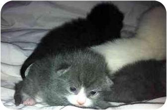 Domestic Shorthair Kitten for adoption in Manchester, Connecticut - Kittens! (3 male & 4 female)