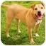 Photo 1 - American Staffordshire Terrier/Labrador Retriever Mix Dog for adoption in Marina del Rey, California - Butterscotch