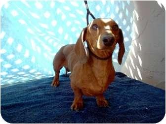 Dachshund Dog for adoption in Tucson, Arizona - Wyatt
