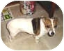 Jack Russell Terrier Dog for adoption in Leesport, Pennsylvania - Merry is waiting for you!