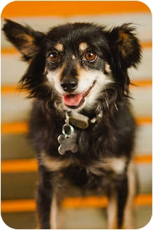 Pomeranian/Australian Shepherd Mix Dog for adoption in Portland, Oregon - Tina