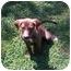 Photo 1 - Beagle/Labrador Retriever Mix Puppy for adoption in Allentown, Pennsylvania - Brownie