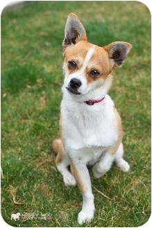 Jack Russell Terrier/Beagle Mix Dog for adoption in West Richland, Washington - Chico