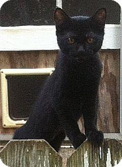 Domestic Shorthair Kitten for adoption in Beacon, New York - Twinkie 2 Urgent (Fee $65)