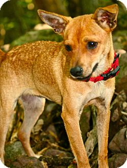 Rat Terrier Mix Dog for adoption in Hastings, New York - Chica