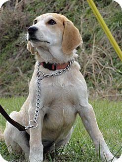 Hound (Unknown Type) Puppy for adoption in Pulaski, Tennessee - Layla