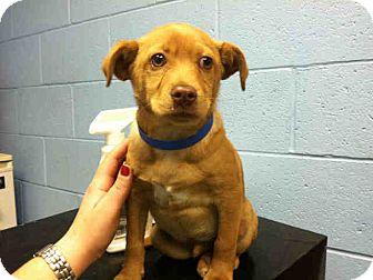Labrador Retriever Mix Puppy for adoption in Las Vegas, Nevada - Lewis