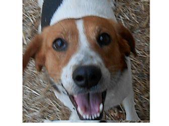 Foxhound Mix Dog for adoption in richmond, Virginia - Chrissie