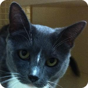 Domestic Shorthair Cat for adoption in Gilbert, Arizona - Cyndal