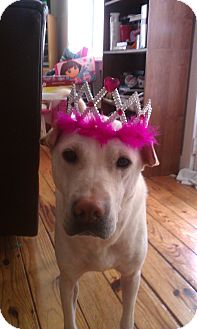Labrador Retriever/Shar Pei Mix Dog for adoption in Bedford, Virginia - Tila